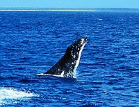 Humpback Breeching